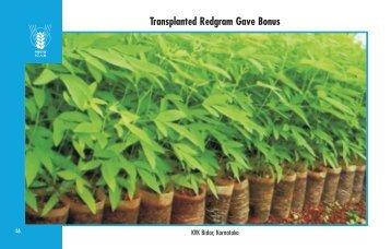 Transplanted Redgram Gave Bonus