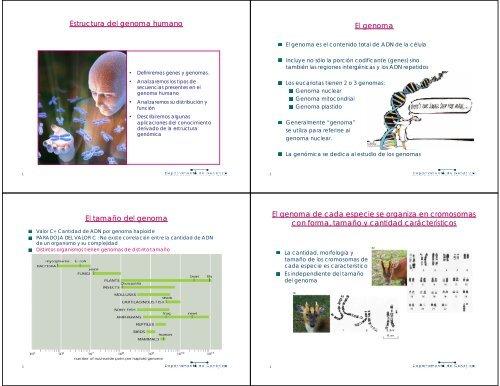 Estructura Del Genoma Humano El Genoma El Uruguay Educa