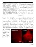 Aldosterone and amiloride alter ENaC abundance in vascular ... - Page 5