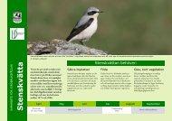 Stenskvätta - Sveriges Ornitologiska Förening