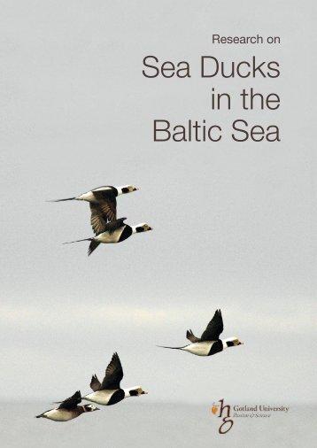 Research on Sea Ducks in the Baltic Sea