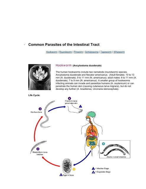Common Parasites of the Intestinal Tract - Herbs777