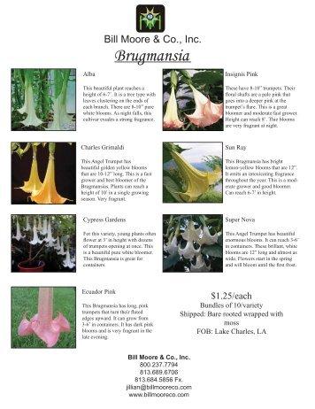 Brugmansia - Bill Moore & Co., Inc