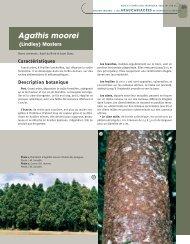 Agathis moorei - Bois et forêts des tropiques