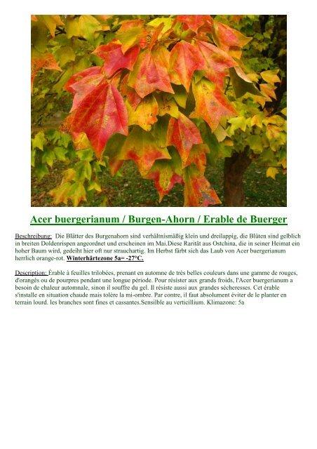 Scheinbuche Nothofagus antarctica 80-100cm gelbe Laubfärbung im Herbst