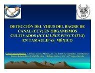 DETECCIÓN DEL VIRUS DEL BAGRE DE CANAL (CCV) EN ...