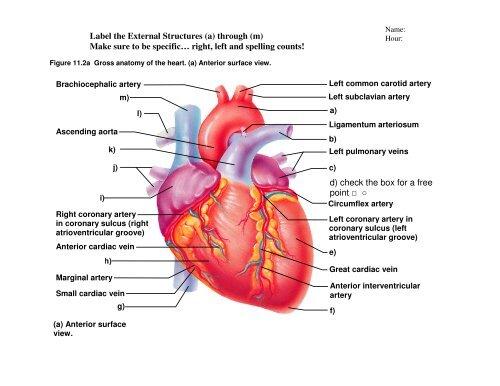 Heart Gross Anatomy Practice Quiz