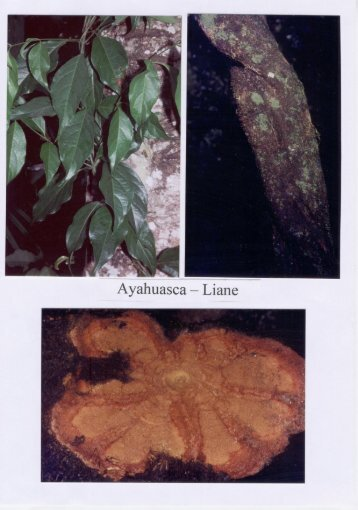 Die Droge Ayahuasca, die Ranke der Seele - Patzelt-ecuador.de