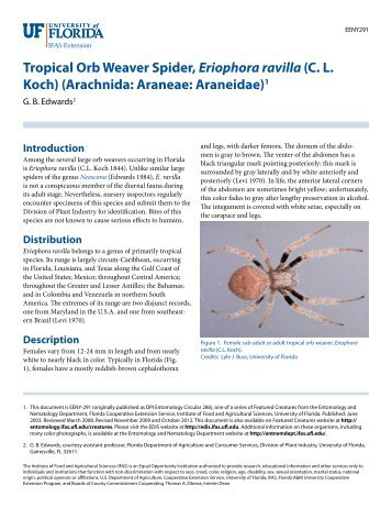 Tropical Orb Weaver Spider, Eriophora ravilla - EDIS - University of ...