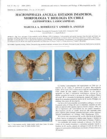 macromphalia ancilla - Association for Tropical Lepidoptera