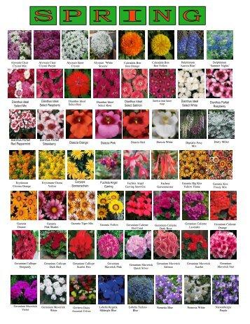 Dianthus Ideal Select Raspberry Euryops Sonnenschein Fuchsia ...
