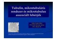 (Microsoft PowerPoint - Tubulin, mikrotubul\341ris rendszer \351s ...