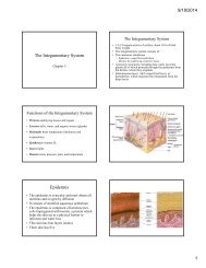 The Integumentary System Epidermis