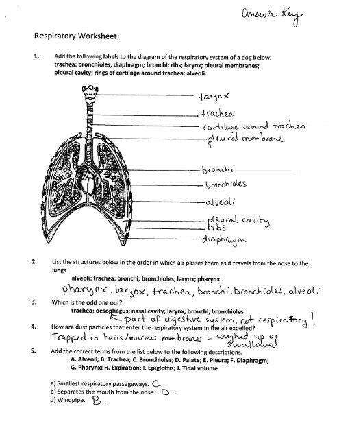Respiratory System Worksheet Answers