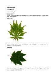 Acer japonicum: Aconitifolium Frühjahr - Baumschule Schmid