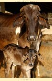 CFC November 2011 Newsletter - Care for Cows - Page 3
