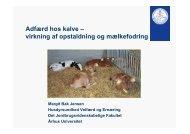 Adfærd hos kalve – virkning af opstaldning og ... - LandbrugsInfo