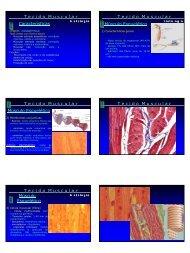 Características T e c i d o M u s c u l a r Músculo Esquelético T - CCS