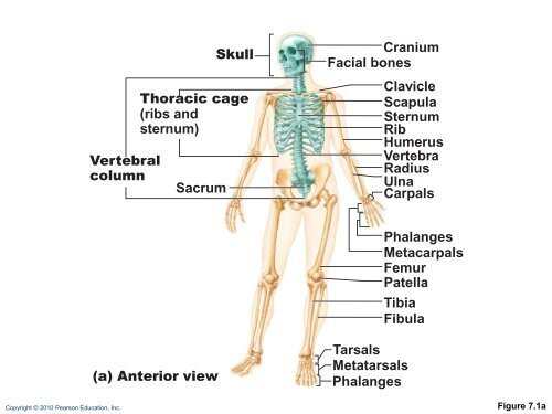 The Axial Skeleton Co