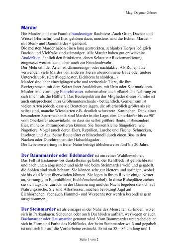 Steinmarder, Iltis - Bdja.eu