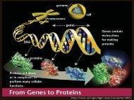 17- gene to protein.pdf