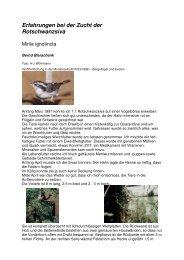 Rotschwanzsiva - Vogelzuchtgrabow.de