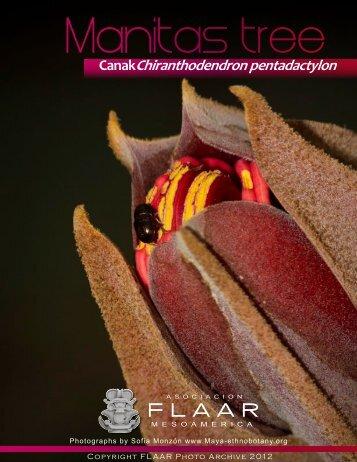 Manitas tree, Canak Chiranthodendron pentadactylon FLAAR Photo ...