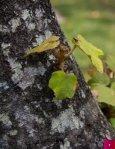 Manitas tree, Canak Chiranthodendron pentadactylon FLAAR Photo ... - Page 5