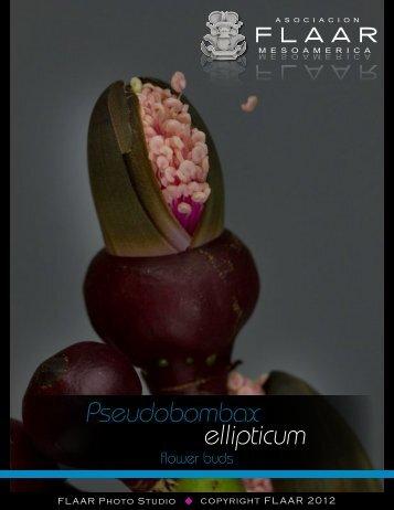 Pseudobombax ellipticum - Maya Ethnobotany