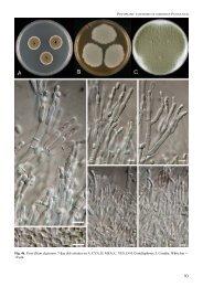 Fig. 46. Penicillium digitatum. 7-day old colonies on A. CYA, B ... - CBS