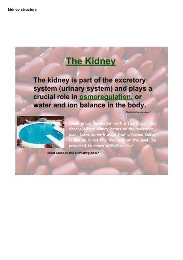 kidney structure - whssbiozone