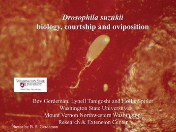 Drosophila suzukii biology, courtship and oviposition - WSU Mount ...