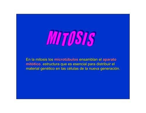 En la mitosis los microtúbulos ensamblan el aparato mitótico ...