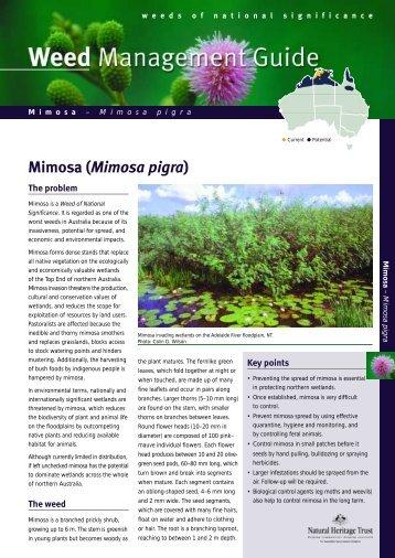 Mimosa (Mimosa pigra) - Weeds Australia