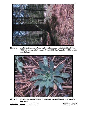 Appendix 2, page 1 Figure 1. Arabis rectissima var. simulans plant in ...