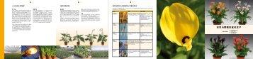 彩色马蹄莲的盆花生产