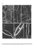 Karyology and the possible function of the dual conidia of ... - Springer - Page 2