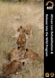 African Lion Rehabilitation & Release into the Wild Program