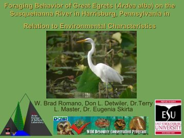Foraging Behavior of Great Egrets (Ardea alba) on the ...