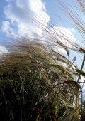 What is naked barley? - Barley - Bangor University - Page 2