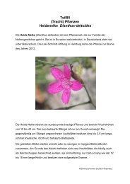 Teil85 (Tracht) Pflanzen Heidenelke Dianthus-deltoides