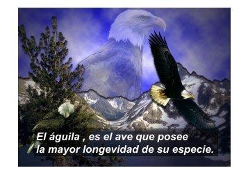 El águila , es el ave que posee la mayor longevidad de su ... - Cap-C
