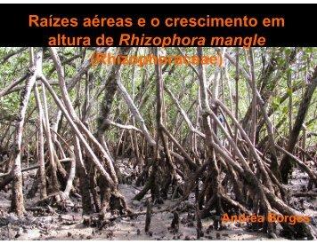 Raízes aéreas e o crescimento em altura de Rhizophora mangle ...