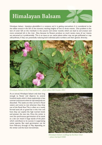 Himalayan Balsam - East Devon Area of Outstanding Natural Beauty