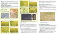 What is weedy rice? - Rice Knowledge Bank - International Rice ...