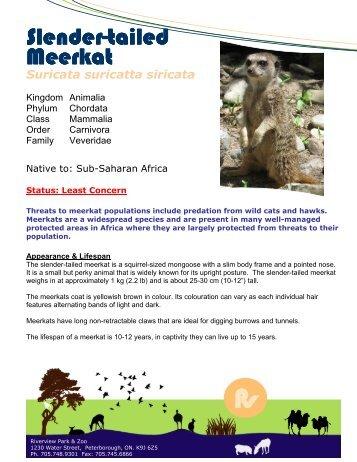 Slender-tailed Meerkat - Peterborough Utilities