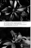 The Allegheny Pachysandra - Arnoldia - Page 2
