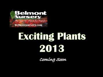 Scabiosa columbaria Mariposa Violet - Belmont Nursery