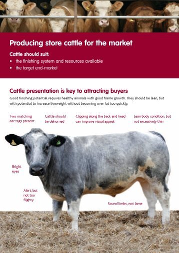 Buying and selling store cattle - Eblex