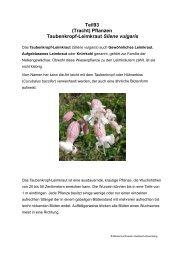 Teil93 (Tracht) Pflanzen Taubenkropf-Leimkraut Silene vulgaris